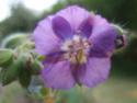 Geranium vivaces - leurs expositions Phaeum10