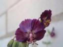 Geranium vivaces - leurs expositions Phaeum13