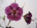 Geranium vivaces - leurs expositions Phaeum14
