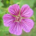 Geranium vivaces - leurs expositions Pink_p10