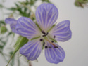 Geranium vivaces - leurs expositions Praten12