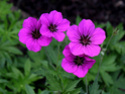 Geranium vivaces - leurs expositions Psilos10