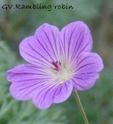 Geranium vivaces - leurs expositions Rambli10