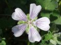 Geranium vivaces - leurs expositions Renard12
