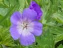 Geranium vivaces - leurs expositions Rozann10
