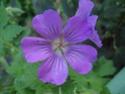 Geranium vivaces - leurs expositions Sirak10