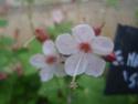 Geranium vivaces - leurs expositions Spessa10
