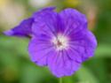 Geranium vivaces - leurs expositions Spinne11