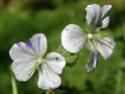 Geranium vivaces - leurs expositions Splish10