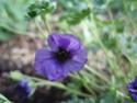 Geranium vivaces - leurs expositions Subcau10