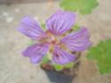 Geranium vivaces - leurs expositions Terre_10