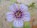 Geranium vivaces - leurs expositions Walli_10