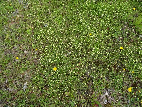 Trifolium campestre - trèfle des champs, trèfle jaune Trafle10