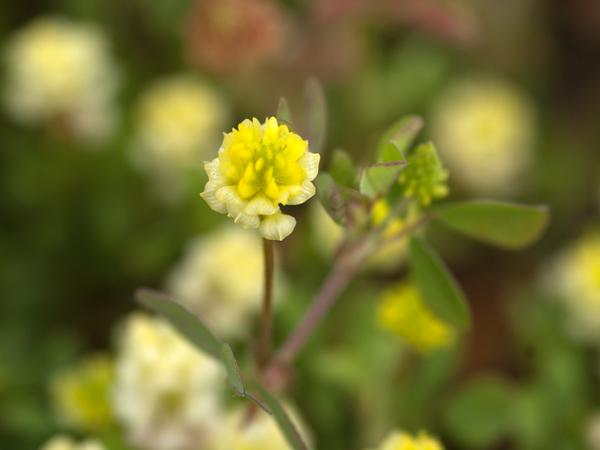 Trifolium campestre - trèfle des champs, trèfle jaune Trafle11