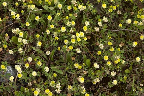 Trifolium campestre - trèfle des champs, trèfle jaune Trasfl10