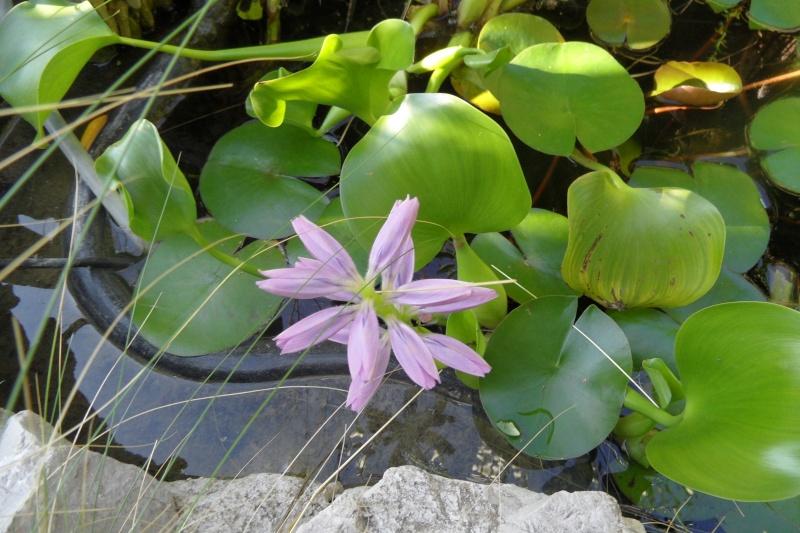 Les plantes aquatiques 00111