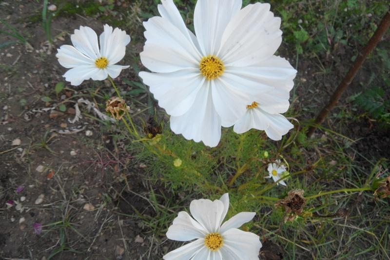 floraisons d'octobre - Page 13 00715
