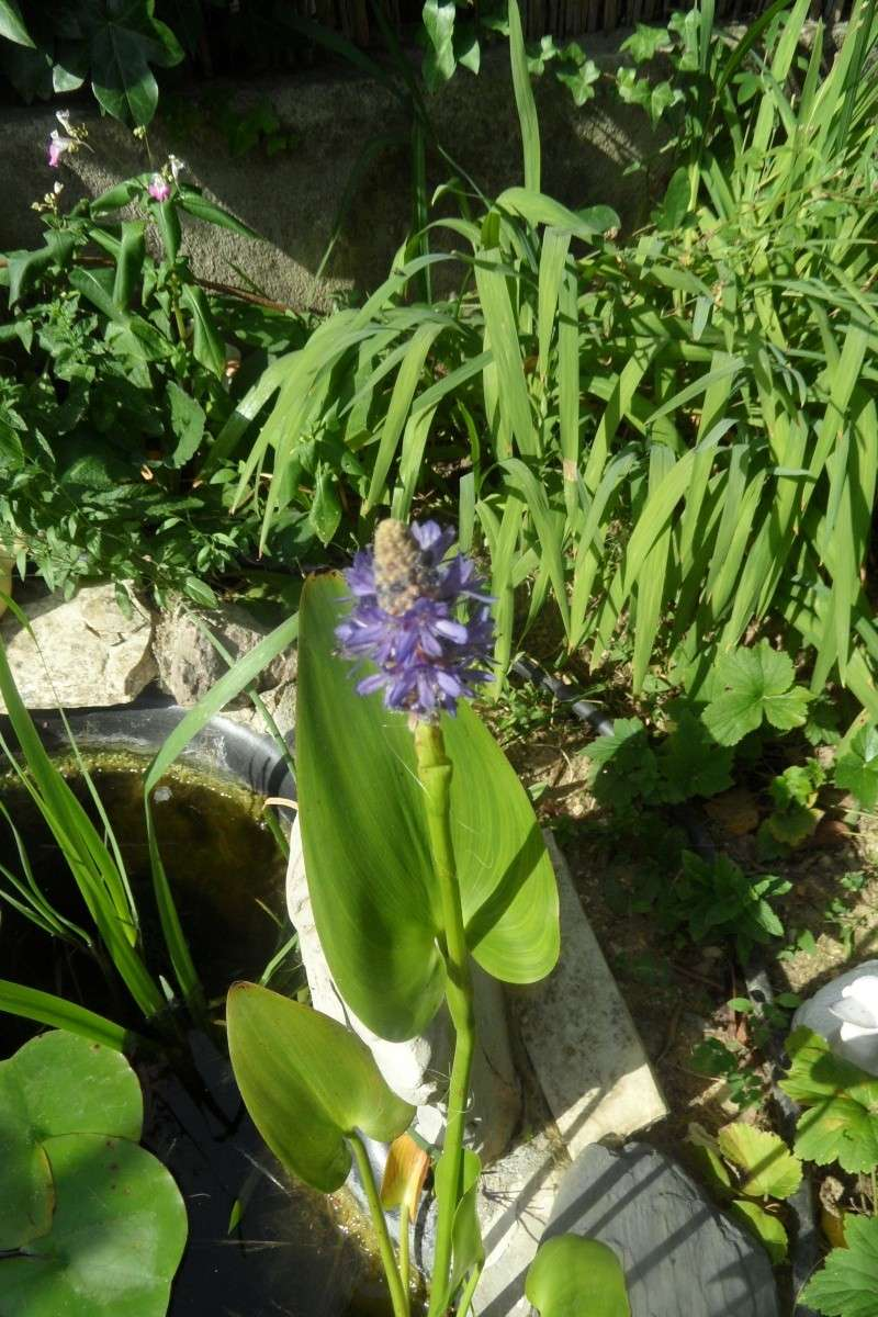 Les plantes aquatiques 02911