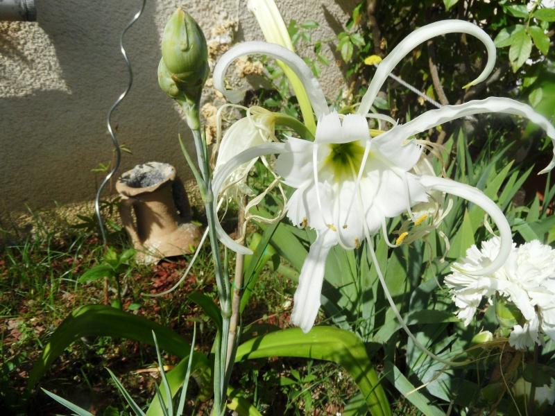 Plantation, culture et floraison des bulbes, des rhizomes, des griffes - Page 2 02912