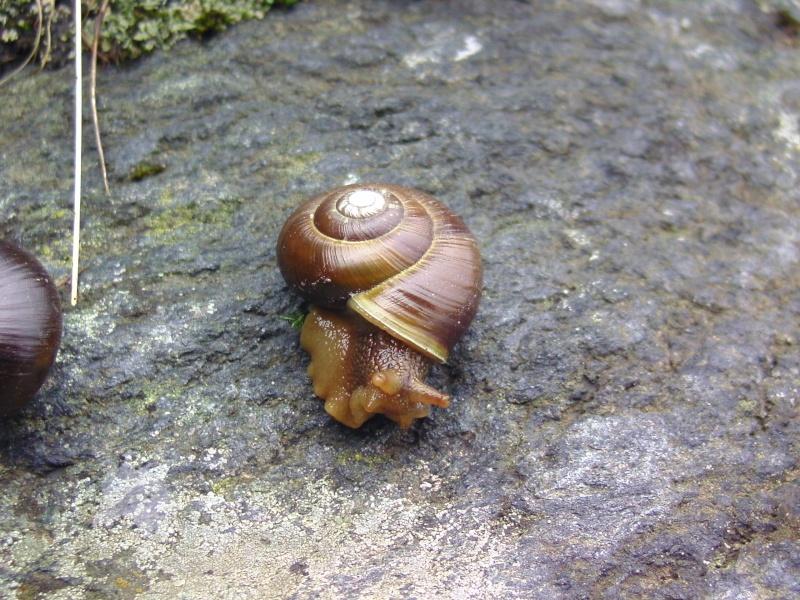 Arianta aethyops aethyops (M. Bielz, 1851) Bild9814