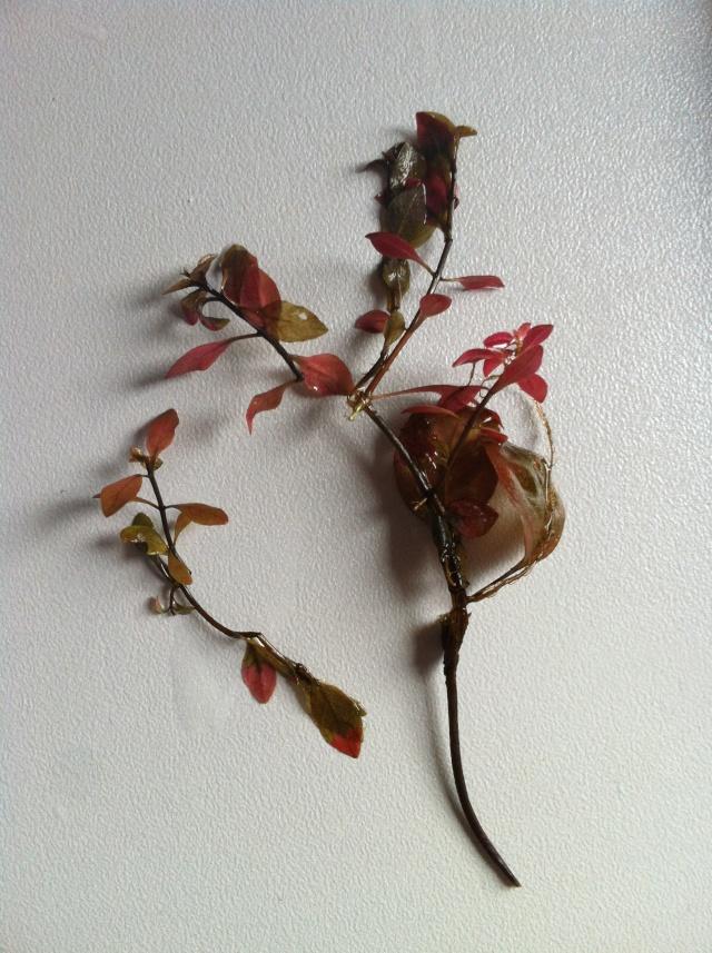 Pourriture? Carence? Ludwigia sp. (palustris) qui fond. Lp_14011