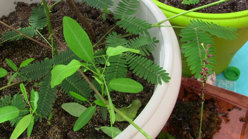 Desmodium gyran squi perd ses feuilles Img_0415