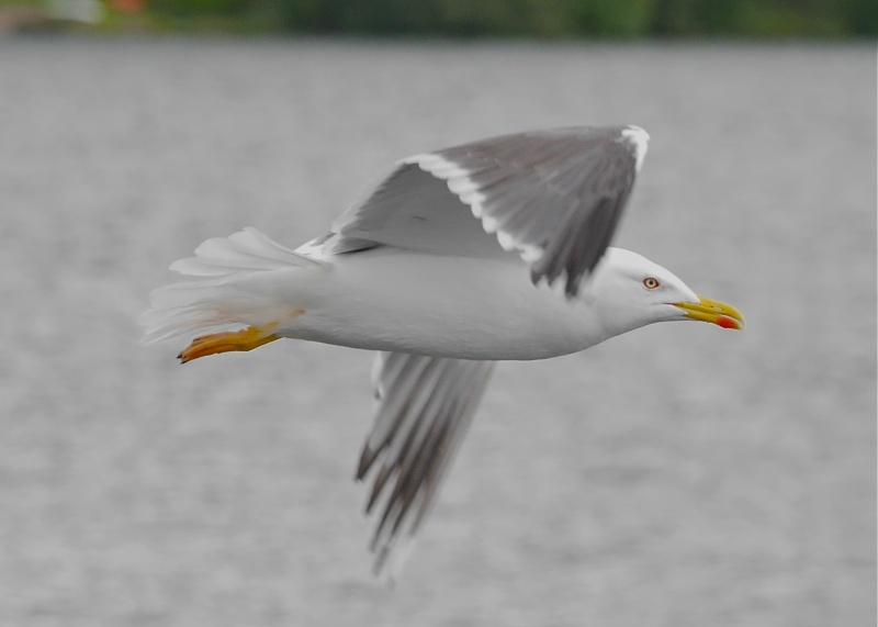 Herring Gulls P1020210