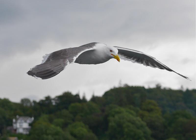 Herring Gulls P1020211