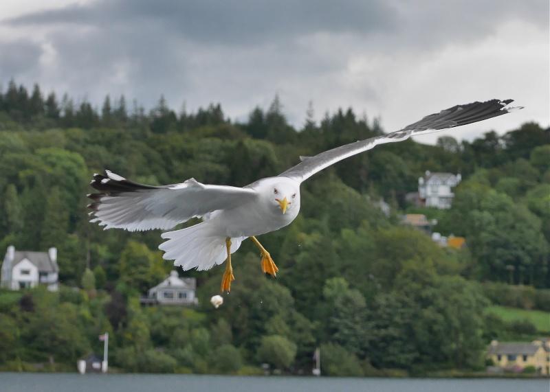 Herring Gulls P1020212
