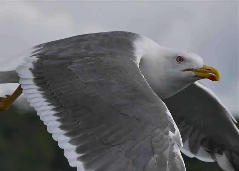 Herring Gulls P1020213