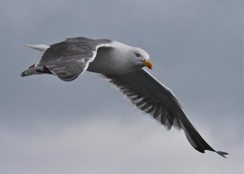 Herring Gulls P1020214