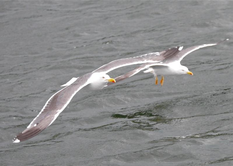 Herring Gulls P1020215