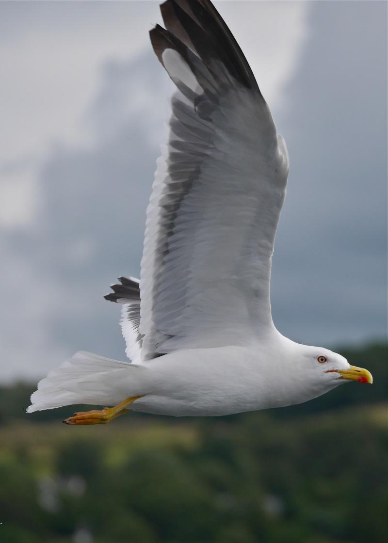 Herring Gulls P1020216