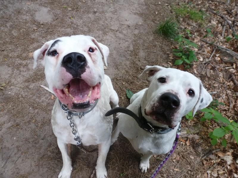 Aira et Arox deux dogos a adopter ensemble - Forbach P1040919