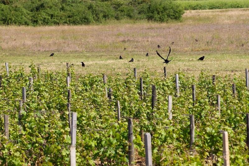 Les corbeaux Corbea11