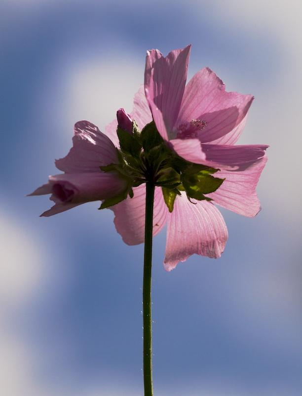 Fleur rose (ou parme ?) Fleurr11