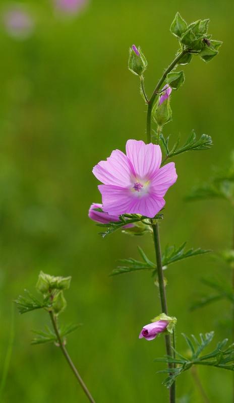 Fleur rose (ou parme ?) Fleurr13