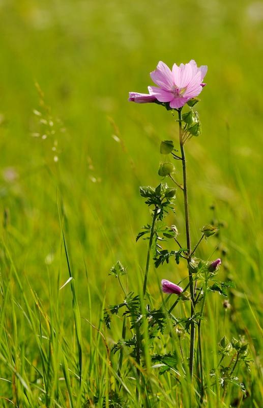 Fleur rose (ou parme ?) Fleurr14