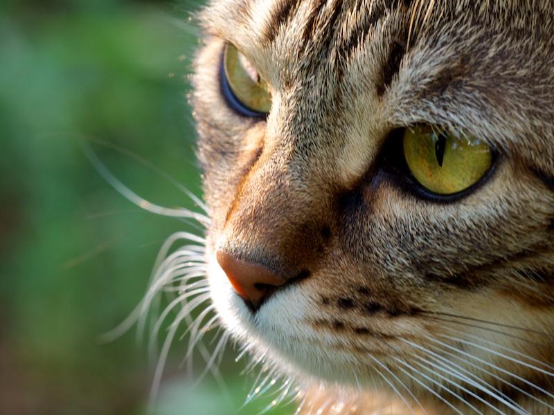 Oeil de chatte Gaya10
