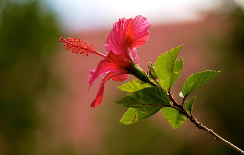 Hibiscus rose  Hibisc14