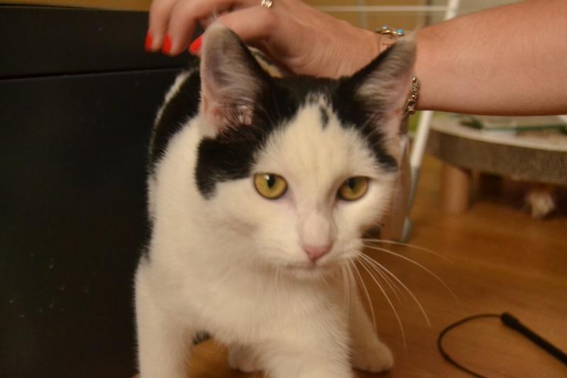 Jody, femelle type européenne noire et blanche, née 1er juin 2014 810