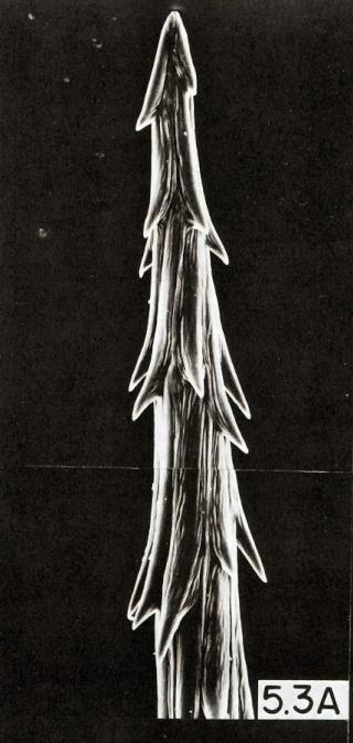 Opuntia microdasys Glochi10