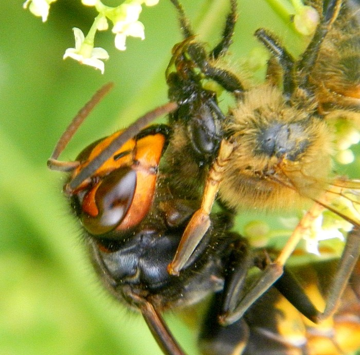 Frelon asiatique Vespa velutina Dscn3312
