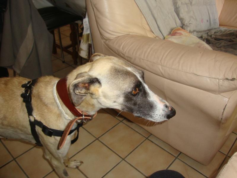 Perla , (squelettique) magnifique galga Scooby France   ADOPTEE  - Page 6 Dsc05110