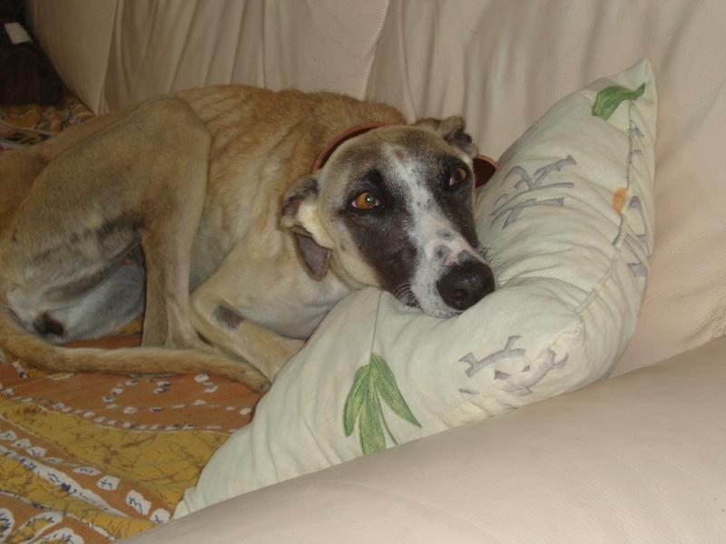Perla , (squelettique) magnifique galga Scooby France   ADOPTEE  - Page 6 Dsc05220