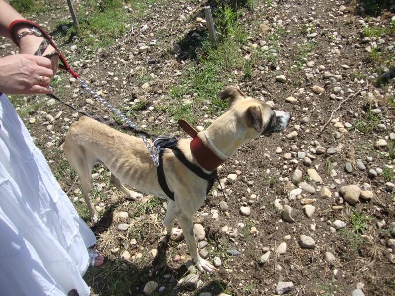 Perla , (squelettique) magnifique galga Scooby France   ADOPTEE  - Page 7 Dsc05231