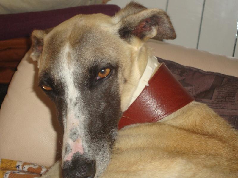 Perla , (squelettique) magnifique galga Scooby France   ADOPTEE  - Page 7 Dsc05235