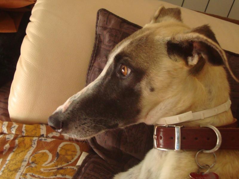 Perla , (squelettique) magnifique galga Scooby France   ADOPTEE  - Page 7 Dsc05236