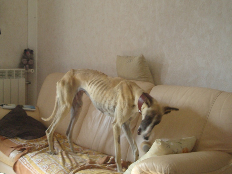 Perla , (squelettique) magnifique galga Scooby France   ADOPTEE  - Page 7 Dsc05239