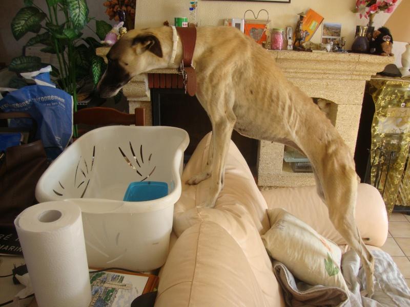 Perla , (squelettique) magnifique galga Scooby France   ADOPTEE  - Page 7 Dsc05242